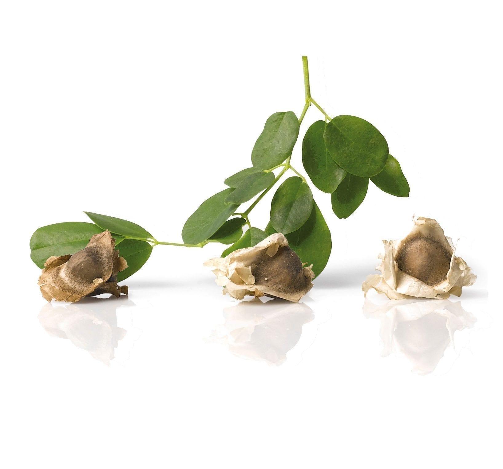Moringa olifeira zaad olie